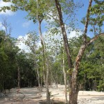 The trees will provide shade to the sidewalk of the main pedestrian street of Aldea Zama Tulum